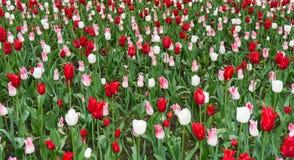 Colourful tulips flowers season garden outdoor beauty Stock Photos