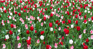 Colourful tulips flowers season garden outdoor beauty Royalty Free Stock Image