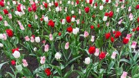 Colourful tulips flowers season garden outdoor beauty Stock Photography