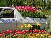 Colourful Tulips Growing in the back of a Truck. Colourful tulips growing in the back of a utility truck, Kingswood ute. Floriade Spring flower and entertainment stock photography