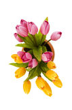 Colourful tulips isolated Stock Images