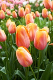 Colourful Tulips in Keukenhof Flower Garden,The Stock Images