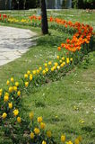 Colourful Tulips. Orange and yellow Tulips pathway deco Royalty Free Stock Image