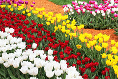 Colourful tulips Stock Photo