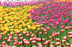 Colourful tulips Stock Image
