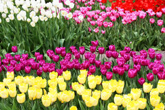 Colourful tulips Royalty Free Stock Images