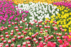 Colourful tulips Stock Images