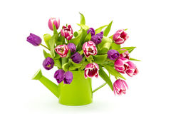 Colourful tulips in a watering-can Royalty Free Stock Photography