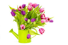Colourful tulips in a watering-can Stock Photography