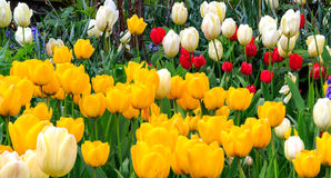 Colourful Tulips in White, Red and Yellow. Beautiful and colourful tulips in white, red and yellow blooming in spring royalty free stock images