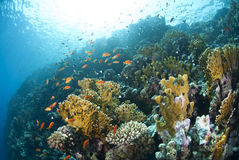 Colourful underwater tropical coral reef. Stock Photography