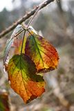 Colourful leaves on branch in woods royalty free stock photography