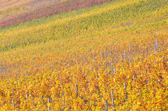 Colourful vineyard on a bright sunny autumn day Royalty Free Stock Photos