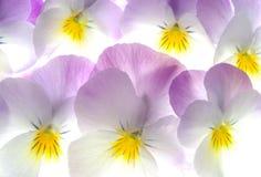 Colourful viola tricolor Stock Photo