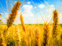 Colourful wheat filter Stock Photography