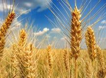 Colourful wheat filter Stock Photos