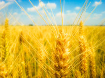 Colourful wheat filter Stock Images