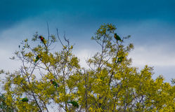 Colourful widok Wschodni Rosella Platycercus eximius Fotografia Royalty Free