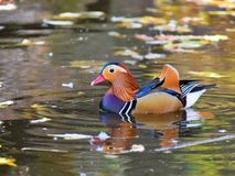 Colourful and wild... Extraordinary colourful coloring the duck swims in shallow water of the water channel stock photo