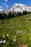 Colourful wild flowers in alpine meadows below Mount Rainier. A mass of flowers... lupines, marguerites and more fill alpine meadows below Mount Rainier`s summit Royalty Free Stock Photos