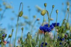 Colourful wild flowers, including blue cornflowers, on a roadside verge in Eastcote, West London UK.