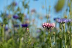 Colourful wild flowers, including cornflowers and poppies, on a roadside verge in Eastcote, West London UK.