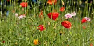 Colourful wild flowers including cornflowers and poppies, photographed in late afternoon in mid summer, in Chiswick, West London U