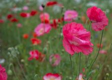 Colourful wild flowers, including pink poppies and cow parsely, on a roadside verge in Ickenham, Hillingdon, West London UK.