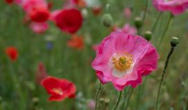 Colourful wild flowers, including pink poppies and cornflowers, on a roadside verge in Ickenham, Hillingdon, West London UK.