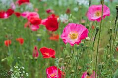 Colourful wild flowers, including pink and red poppies, on a roadside verge in Ickenham, Hillingdon, West London UK.