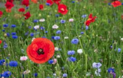 Colourful wild flowers, including poppies and cornflowers, on a roadside verge in Eastcote, West London UK.