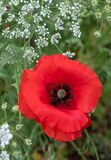 Colourful wild flowers, including poppy and cow parsely, on a roadside verge in Ickenham, Hillingdon, West London UK.