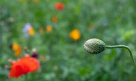 Colourful wild flowers including poppies, photographed in late afternoon in mid summer, in Chiswick, West London U