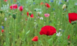 Colourful wild flowers, including red poppies, on a roadside verge in Ickenham, Hillingdon, West London UK.