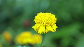 Yellow Marigold Flower High Definition Footage. Colourful wild garden marigold flower being blown in the wind with a green foliage background, high definition stock video footage