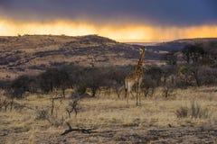 Colourful wschód słońca żyrafa Kruger Południowa Afryka Zdjęcia Stock