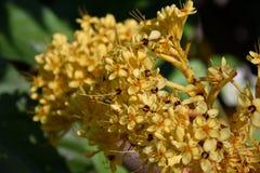 Colourful yellow blooms of Ashoka tree. Saraca indica asoca. The ashoka is a rain-forest tree. The plant belonging to the Caesalpinioideae subfamily of the stock image