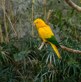 Colourful yellow lori parrot  on the perch. Colourful yellow  lori  parrot bird sitting on the perch Stock Photo