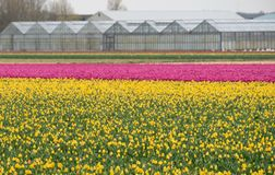 Colourful yellow and pink tulips growing in rows near Keukenhof Gardens, Lisse, South Holland.