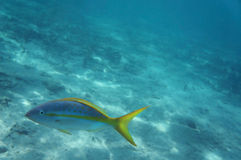 Colourful Yellowtail Snapper. In the Caribbean royalty free stock photo