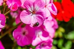 Colourfull臭虫介于中间的桃红色花 免版税库存图片