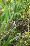 colourfull πουλί με τα μάγουλα κόκκινου προσώπου & την άκρη, κυρίως μαύρα/καφετιά σώμα και φτερά Chamarel, Μαυρίκιος Στοκ Φωτογραφία