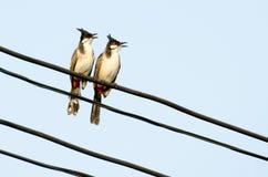 colourfull πουλί με τα μάγουλα κόκκινου προσώπου & την άκρη, κυρίως μαύρα/καφετιά σώμα και φτερά Στοκ φωτογραφία με δικαίωμα ελεύθερης χρήσης