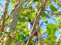 colourfull πουλί με τα μάγουλα κόκκινου προσώπου & την άκρη, κυρίως μαύρα/καφετιά σώμα και φτερά Στοκ Εικόνες