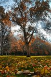 Colourfull autumn tree. With leaves on grass Royalty Free Stock Images