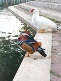 Colourfull duck and her white friend. Walking around Split ,Croatia my camera catched this beautiful kind of duck royalty free stock image