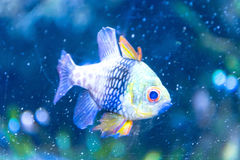 Colourfull fisk i mörker - blått vatten Arkivbilder
