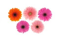 Colourfull Gerberablommor Royaltyfri Bild
