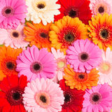 Colourfull Gerberablommor Royaltyfri Foto