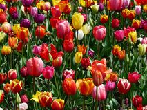 Colourfull tulipanów kwiaty Obraz Stock